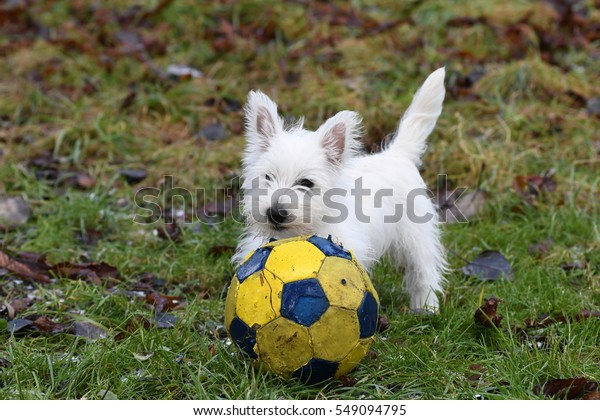Three months old West Highland White Terrier playing football