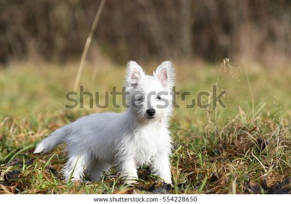 Three months old West Highland White Terrier