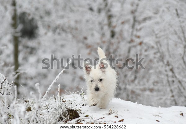 Three months old West Highland White Terrier in snow