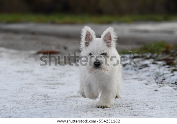Three months old West Highland White Terrier running on one feet