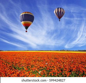 Three multi-color balloons flying over fields of red buttercups - ranunculus. Concept of rural and extreme tourism