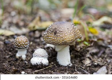 Three mushrooms Amanita pantherina- toxic mushrooms