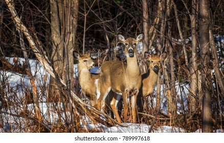 The Three Musketeer Deer