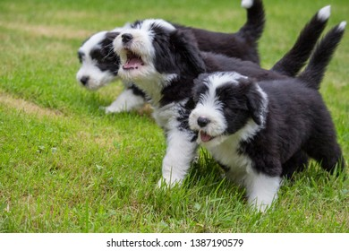three musketers. three bearded collie pups
