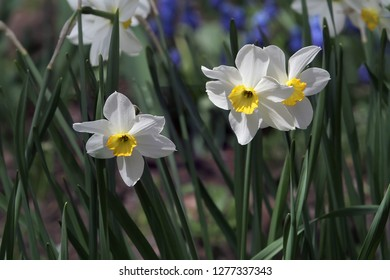 Three narcissus flowerbed