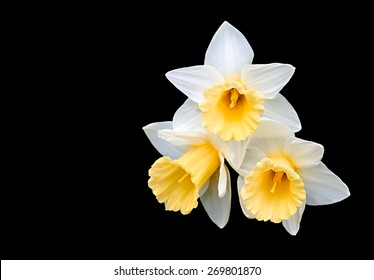 Three narcissuses on a black background