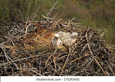 Three nestlings in eyrie