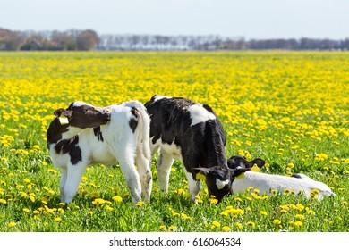 Three newborn calves in spring meadow with dandelions