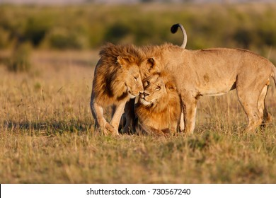 Three Nomad Lions cuddle together in Masai Mara, Kenya