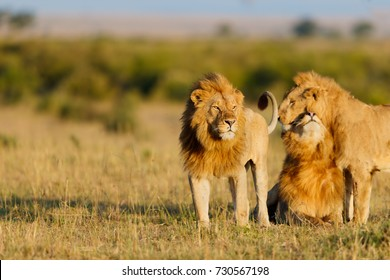 Three Nomad Lions in Masai Mara, Kenya