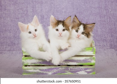 Three Norwegian Forest Cat kittens sitting inside slatted wooden box on light purple background