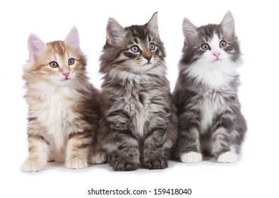 norwegian forest cat kitten images stock photos vectors