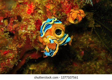 Three nudibranches (chromodoris annae) on the coral reef. Undrewater picture of group of sea slugs. Ocean creatures feeding on a tunicate (sea squirt, also known as ascidian).