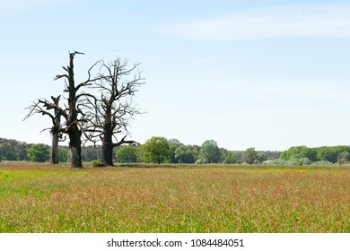 three old oaks on big wide meadow, panoramic landscape