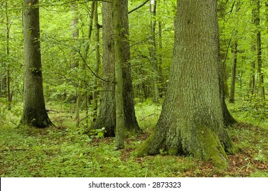 Three old spruces in natural forest