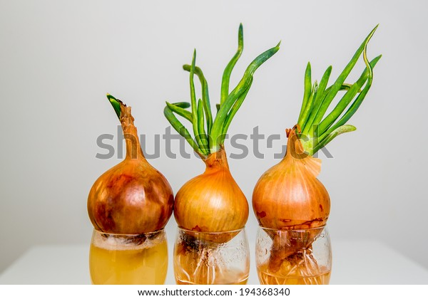 Three onions growing out of the glass