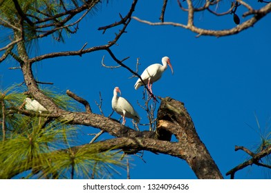 Three orange beaked American White Ibis perched in a large tall Pine Tree in bonita springs florida against a clear blue sky.