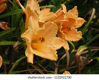 Three orange daylily flowers (Hemerocallis)
