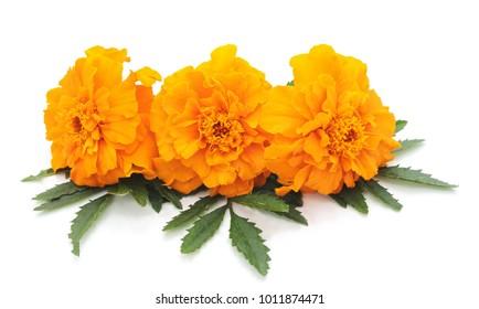 Three orange flowers isolated on a white background.