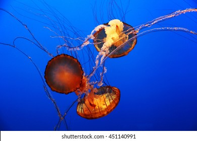 Three orange jellyfish underwater
