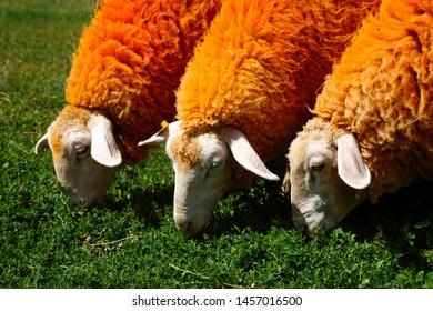 Three orange sheep eating grass in the field