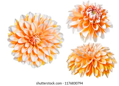 Three orange and white dahlia flowers isolated on white background