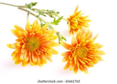 three orange with yellow chrysanthemums isolated on white