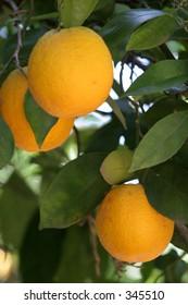 three oranges on a tree