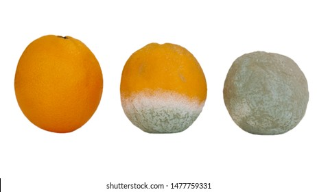 Three oranges in various stages of decomposition. Isolated on white.