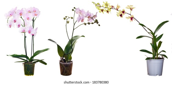 three orchid flowers in pots isolated on white background