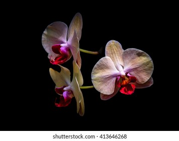Three Orchids with black background / Orchid Trio / Three Orchids with black background
