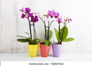 Three orchids in pots on a wooden table. Beautiful indoor flowers close-up. Gift.
