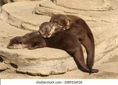 Three otters sleeping