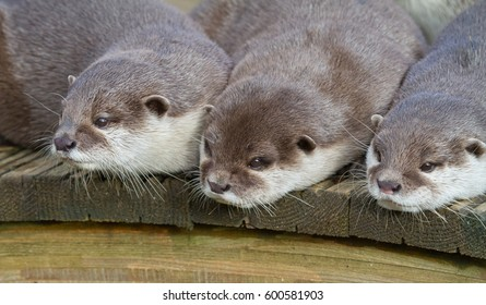 Three otters waiting for food