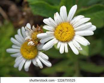 three oxeye daisy blooms in a clump showing the ravages of fall; Harrisonburg, VA, USA