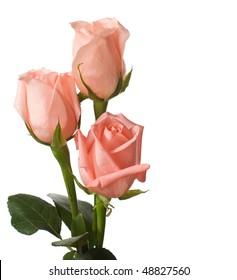 three pale roses