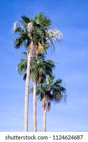 Three palm trees against blue sky in Scottsdale, Arizona
