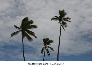 Three palm trees, Caribbean, West Indies