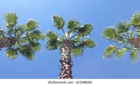 Three palm trees in a row against a bright blue sky, seen from below