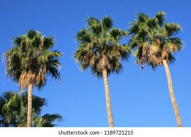 Three palm trees, Tenerife, Canary Islands