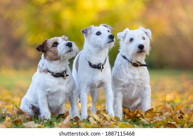 three Parson Russell Terrier side by side on an autumnal meadow