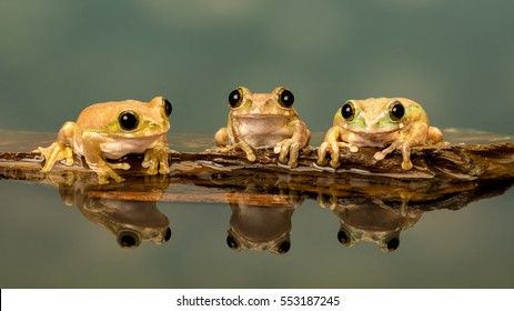 Three Peacock tree frogs perched in a row on a stone at the edge of water showing reflection in the water with blue background.