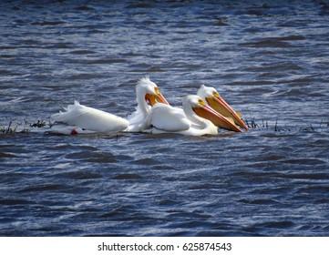 Three pelicans (Pelecanus erythrorhynchos) swimming on a choppy lake.
