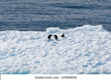 Three penguins interact on top of a floating iceberg.