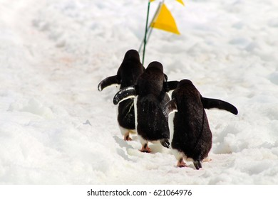 Three penguins race past a trail marking flag meant to keep human visitors off their highway on the Antarctic Peninsula.