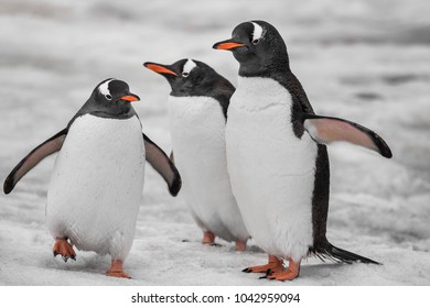 Three penguins are standing on the snow-covered surface. Antarctic mountain crest. Wild animals were shot during the expedition to the Vernadsky Research Base, Antarctica.