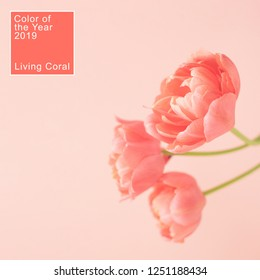 Three peony flowering tulips in trendy living coral color. Minimal styled concept card. Color of the year 2019.