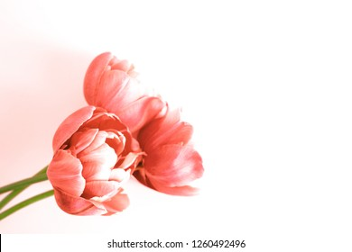 Three peony flowering tulips in trendy coral color. Minimal styled concept card. Color of 2019.