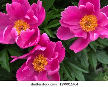 Three Peony Flowers with yellow middle