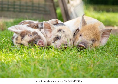 Three piglets in the pasture